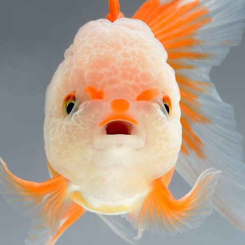 Impressing Portraits of Goldfish & Betta Fish